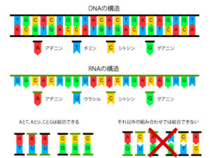 DNA・RNAの構造